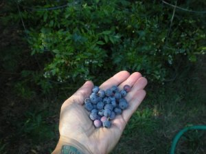 local berries