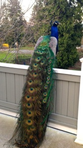 peacocks in Seattle