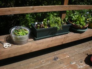 home-grown lettuces, deck gardening