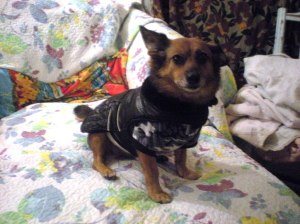 dressed up dogs, layering for cold weather