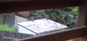 On top of the neighbor's shed.