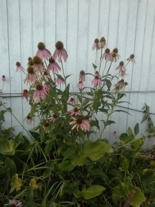 Her echinacea, on the other hand......