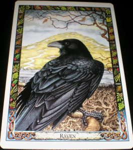 animal messages, oracle cards, raven,