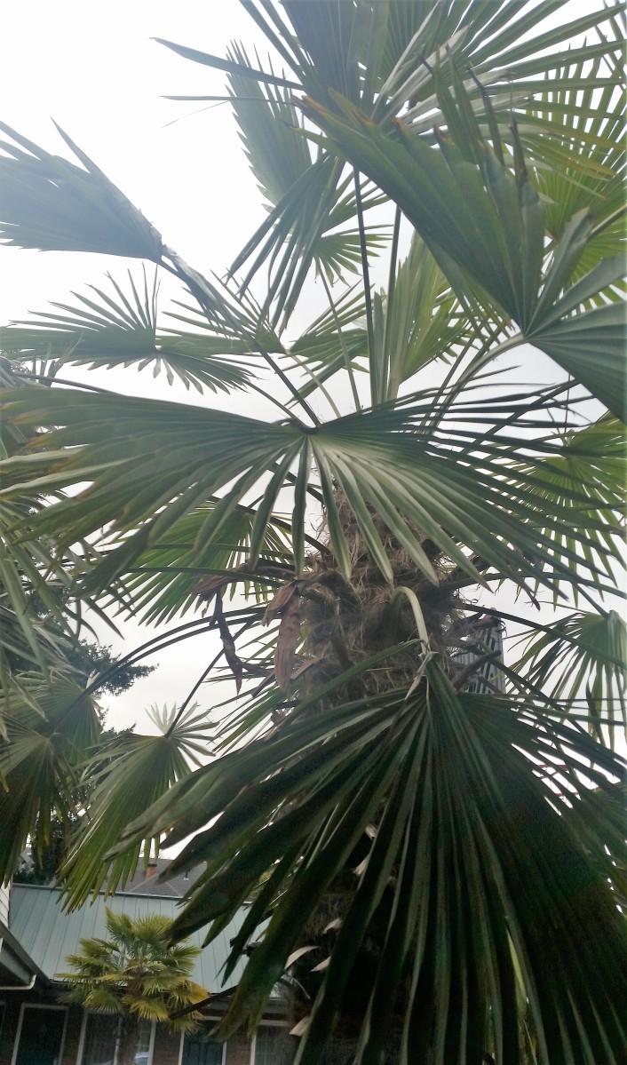 city palms and fir